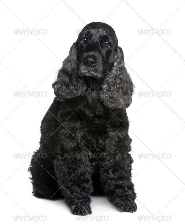 Cocker Spaniel (9 years) - Stock Photo - Images