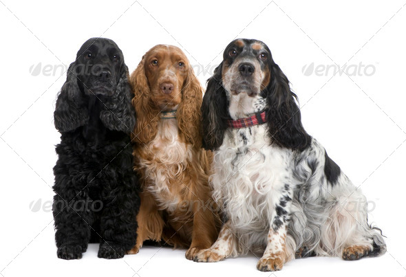 group of three Cocker Spaniels - Stock Photo - Images