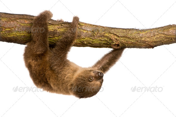 baby Two-toed sloth (4 months) - Choloepus didactylus - Stock Photo - Images