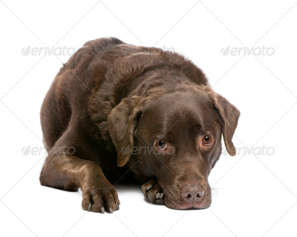 Labrador (7 years) - Stock Photo - Images