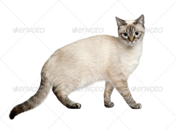 Crossbreed between a siamese and a tabby (9 months) in front of a white background - Stock Photo - Images