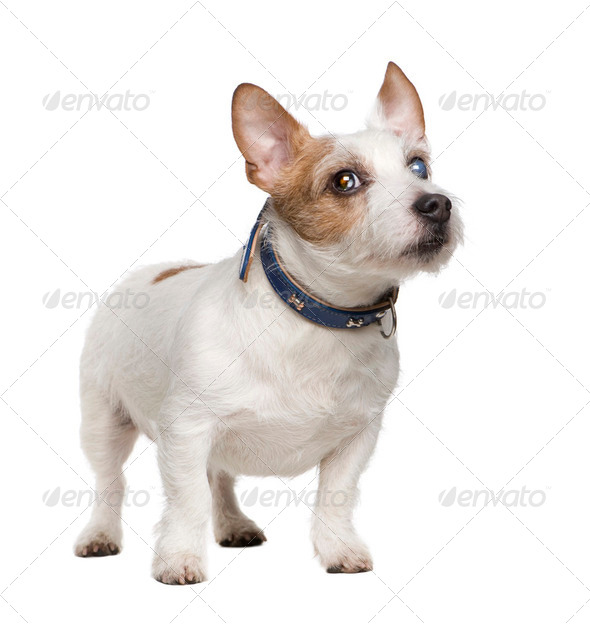 blind Jack russell (8 years) - Stock Photo - Images