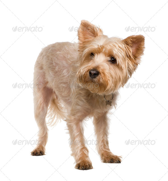 Yorkshire Terrier (3 years) - Stock Photo - Images