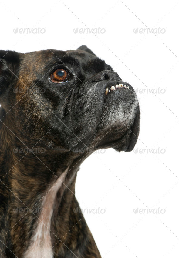 Close up on a Boxer - Stock Photo - Images