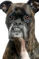 Boxer (9 years)