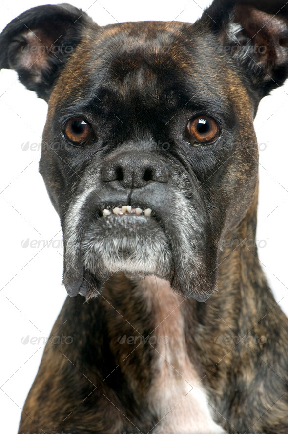 Boxer (9 years) - Stock Photo - Images