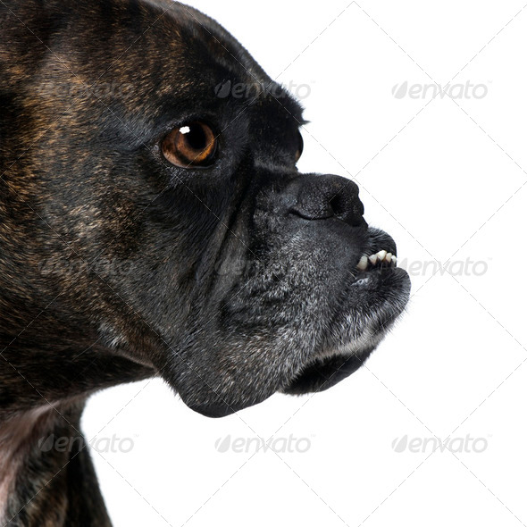 close-up on a Boxer's head (9 years) - Stock Photo - Images