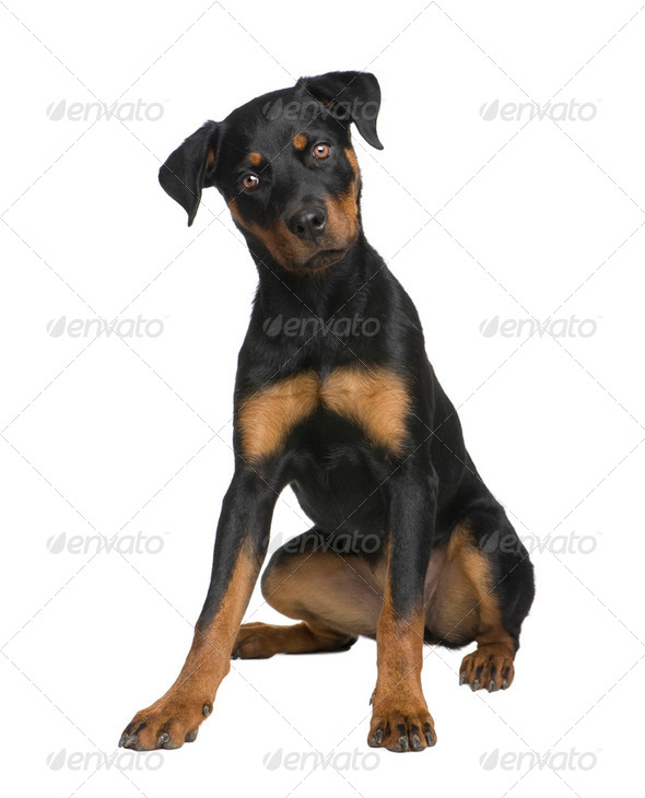 rottweiler puppy (6 months) - Stock Photo - Images