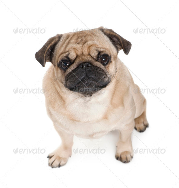 pug (3 years) - Stock Photo - Images