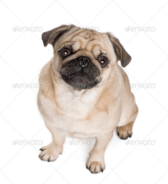 Portrait of pug with nose and face piercings in front of white background, studio shot - Stock Photo - Images
