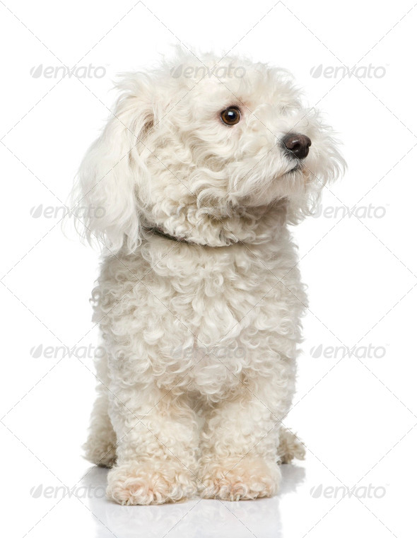 maltese dog - Stock Photo - Images