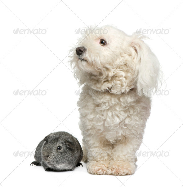 maltese dog and guinea pig - Stock Photo - Images