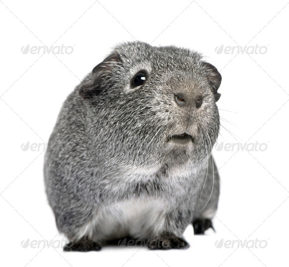 guinea pig (3 years) - Stock Photo - Images