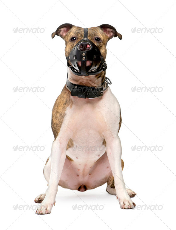 Bull Terrier (2 years) - Stock Photo - Images