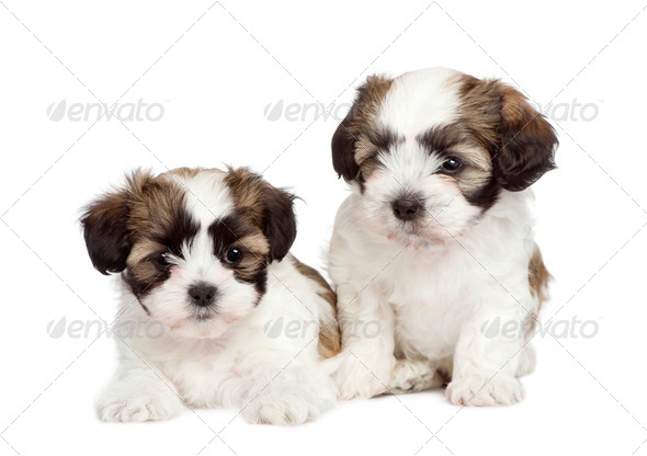 puppy mixed-Breed Dog between Shih Tzu and maltese dog (7 weeks) - Stock Photo - Images