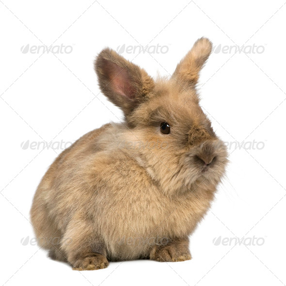 Rabbit (3 years) - Stock Photo - Images