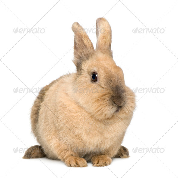 Rabbit (4 years) - Stock Photo - Images
