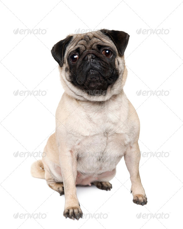 pug (4 years) - Stock Photo - Images