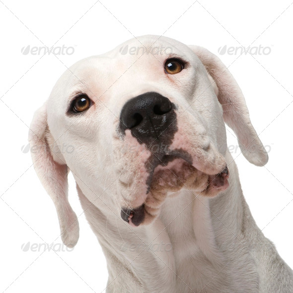 Argentine Dogo (18 months) - Stock Photo - Images
