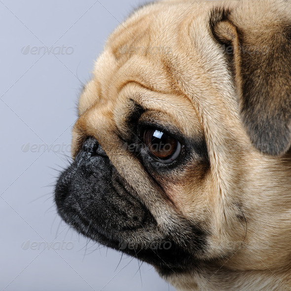 close-up on a profile of a pug (3 years) - Stock Photo - Images