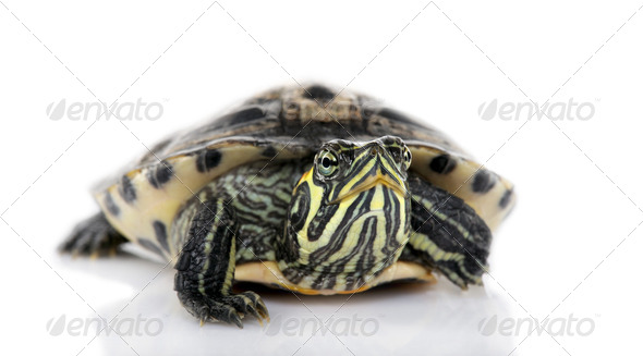 Turtle facing the camera - Acanthochelys - Stock Photo - Images