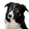 close-up on a Border Collie (2,5 years)