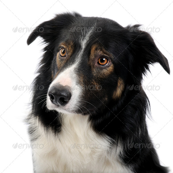 close-up on a Border Collie (2,5 years) - Stock Photo - Images