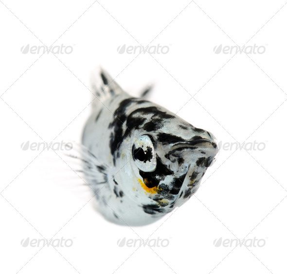 Dalmatian Molly - Poecilia latipinna - Stock Photo - Images