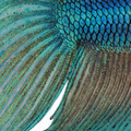 Close-up on a fish skin - blue Siamese fighting fish - Betta Splendens