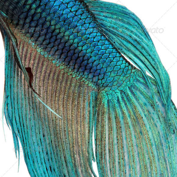 Close-up on a fish skin - blue Siamese fighting fish - Betta Splendens - Stock Photo - Images