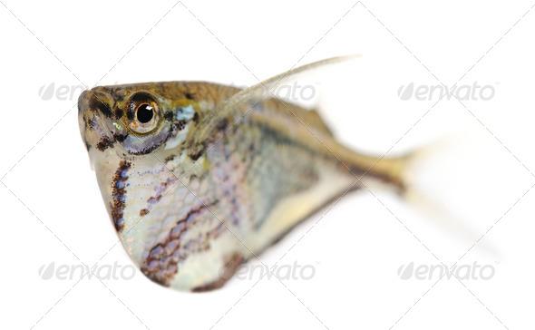 Common hatchetfish - Gasteropelecus sternicla - Stock Photo - Images