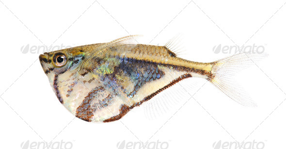 Common hatchetfish - Gasteropelecus sternicla - Stock Photo - Images