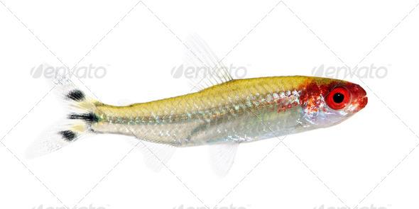 Hemigrammus bleheri fish - Stock Photo - Images