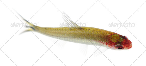 Hemigrammus bleheri fish - Stock Photo - Images