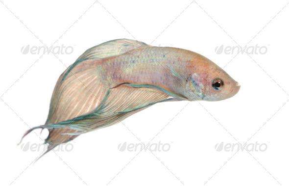 Siamese fighting fish - Betta Splendens - Stock Photo - Images