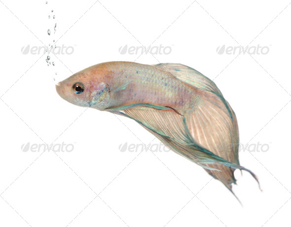 Siamese fighting fish - Betta Splendens - Stock Photo - Images