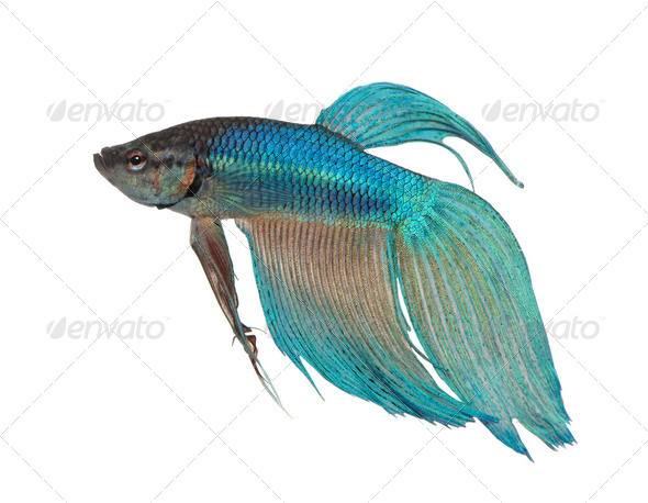 blue Siamese fighting fish - Betta Splendens - Stock Photo - Images