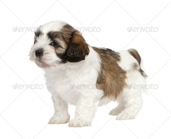Mixed-Breed puppy - Stock Photo - Images