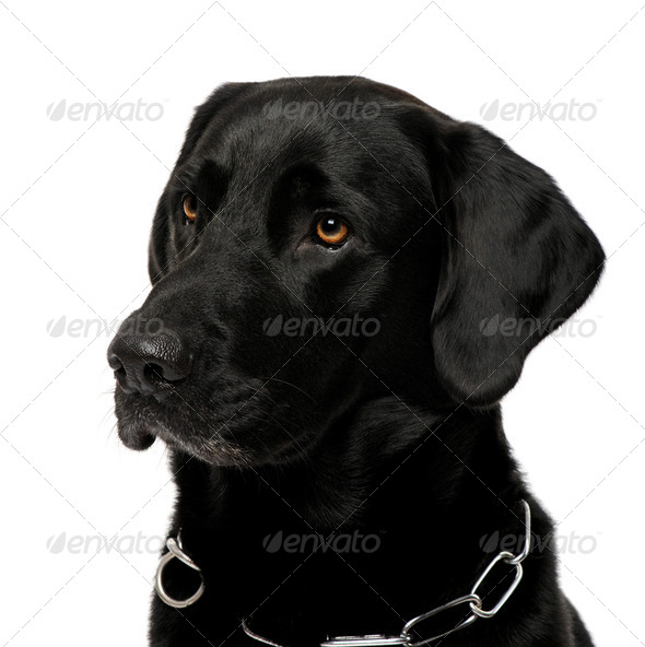 close-up of a black Labrador - Stock Photo - Images