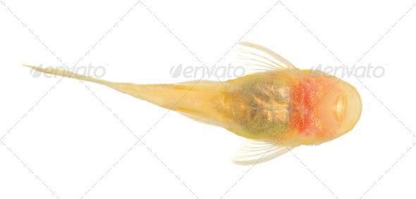 bushy nose - Goldspot Ancistrus Albino - Stock Photo - Images
