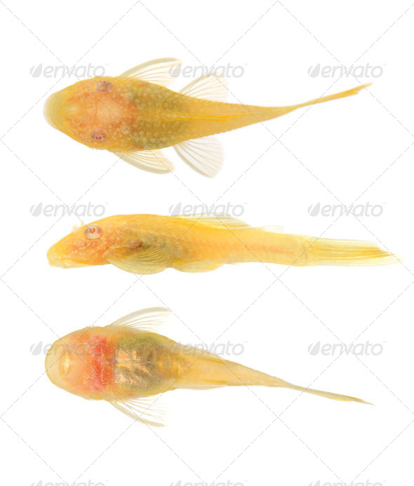 bushy nose - Goldspot Ancistrus Albino - Stock Photo - Images