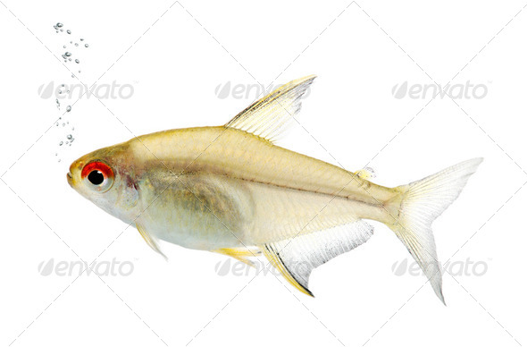 Hyphessobrycon bentosi fish - Stock Photo - Images