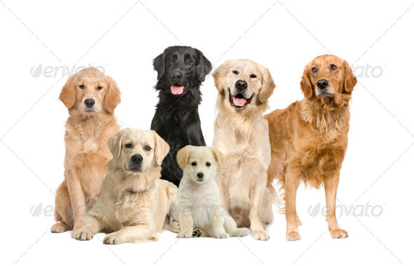 group of 6 golden retriever and labrador facing the camera - Stock Photo - Images
