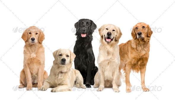 group of 5 golden retriever and labrador facing the camera - Stock Photo - Images