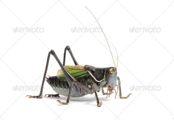 Grasshopper - Gampsocleis gratiosa - Stock Photo - Images