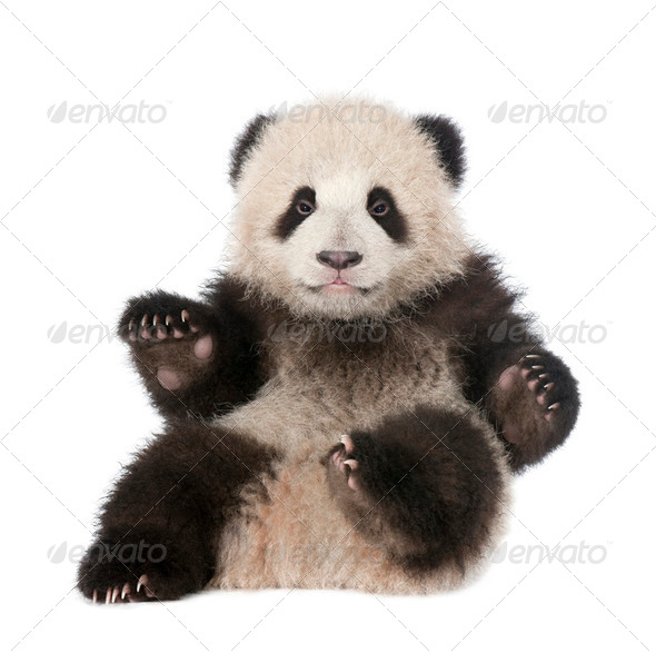 Giant Panda (6 months old) - Ailuropoda melanoleuca - Stock Photo - Images