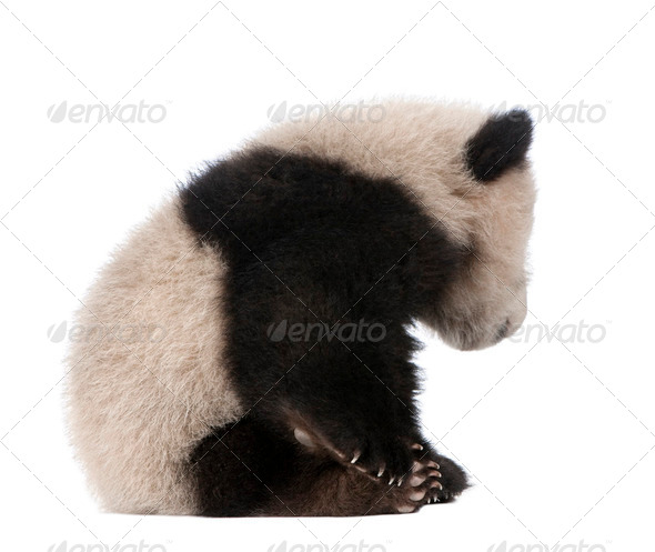 Giant Panda (6 months) - Ailuropoda melanoleuca - Stock Photo - Images