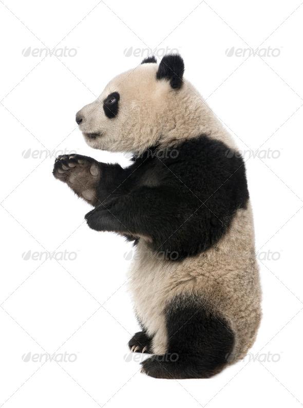 Giant Panda (18 months) - Ailuropoda melanoleuca - Stock Photo - Images