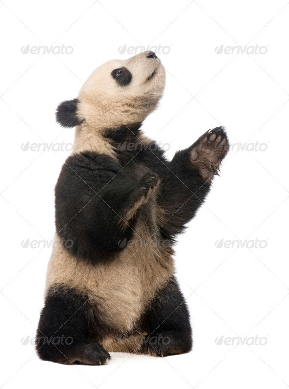 Giant Panda (18 months) - Ailuropoda melanoleuca - Stock Photo - Images