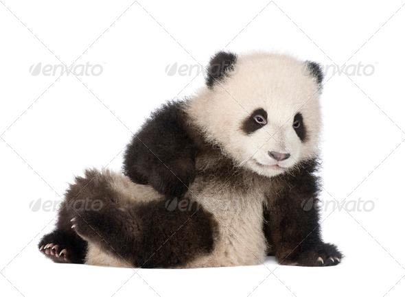 Giant Panda (6 months) - Ailuropoda melanoleuca - Stock Photo - Images